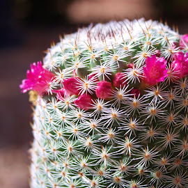 In Bloom by Lori Kulik - Nature Up Close Other plants ( desert, blooms, nature up close, thorns, flowers, cactus,  )