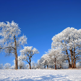 Frozen Trees by Gabriel Motica - Landscapes Prairies, Meadows & Fields ( blue, snow, white, trees, frozen )