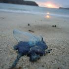 Portuguese Man o' War or Bluebottle