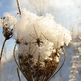 Snowcapped QueenAnne's Lace by Diane Butler - Nature Up Close Flowers - 2011-2013 ( lace, winter, snow, queenanne, flower )
