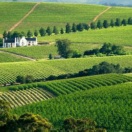 Vineyards in Stellenbos RSA by Mel Dicker - Landscapes Prairies, Meadows & Fields