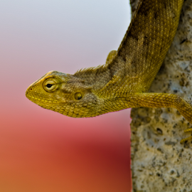 Hide by Pankaj Mishra - Animals Reptiles ( lizard, color, change, garde, reptile, chameleon )
