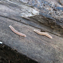 Unknown milipede