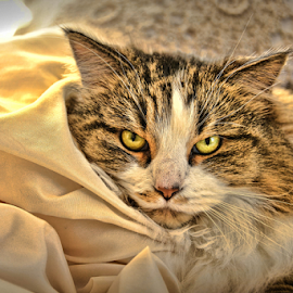 Bella by Brenda Reed Buehler - Animals - Cats Portraits ( cozy, cat, pet, family, bed )