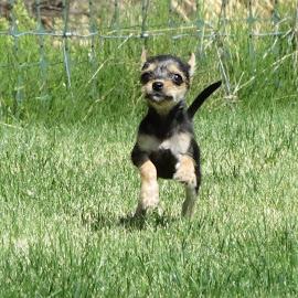 by Gracie De Wilde - Animals - Dogs Running
