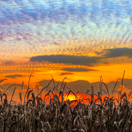 Indiana Sundown by Kenneth Keifer - Landscapes Sunsets & Sunrises ( countryside, indiana, sepia, america, colorful, maize, silhouette, cornfield, glorious, vivid, vibrant, yellow, landscape, usa, sun, corn, setting, farm, cornstalks, sky, autumn, evening, clouds, orange, midwest, agriculture, horizon, stalks, cereal, rural, farming, silhouetted, amazing, red, blue, color, sunset, fall, grain, sundown, crops, brown, brilliant, tassels, harvest, stunning )