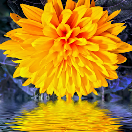 yellow dahlia by LADOCKi Elvira - Digital Art Things ( nature, color, flowers, garden )