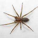 """""""Hobo Spider"""""""