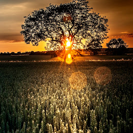 Tree of light by Lee Morley - Landscapes Prairies, Meadows & Fields ( lincolnshire, field, tranquil, peaceful, tree, sunset, warmth, quiet, evening, light, sun )