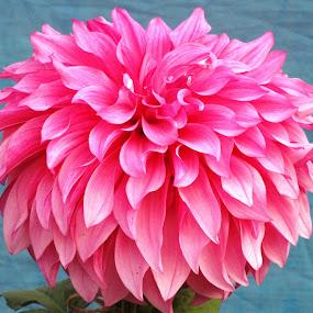 PINK  GLAMOUR..... by Tina Banik - Flowers Single Flower (  )