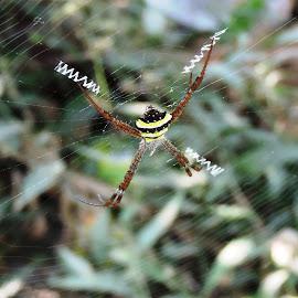 Signature Spider @ B Garden by Raju Sen - Animals Insects & Spiders