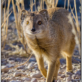 Yellow mongoose by Wessel Badenhorst - Animals Other (  )