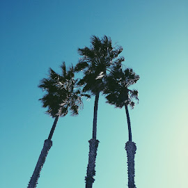 CA Palm trees by Adrian Santamaria - Nature Up Close Trees & Bushes ( cool, ca, cali, california, waves, palm trees, sea, ocean, beach, palm tree, sweet, awesome, camping, los angeles, summer, surf )