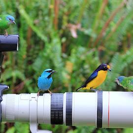by Itamar Campos - Animals Birds ( gaturamo, cambacica, blue dacnis male, bluedacnis female ( green ) )