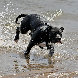 by António Sousa - Animals - Dogs Running ( water, kenzo, sand, amstaff, white, black )