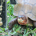 Eastern or Three-toed Box Turtle