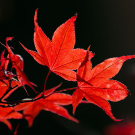 Maple by Cory Bohnenkamp - Nature Up Close Leaves & Grasses ( backlit, red, nature, tree, leaves, maple,  )