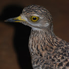 "Spotted Thick-knee (""Spotted Dikkop"")"