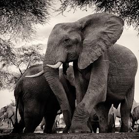 Leaving the Waterhole by Buddy Eleazer - Animals Other Mammals ( chobe, botwana, elephant,  )