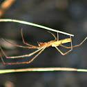 Long-jawed Orbweaver Spider