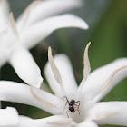Green Head Ant