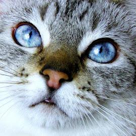 Sweet SuzieQ by Trish Hamme - Animals - Cats Portraits
