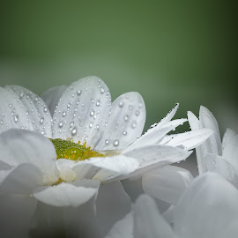 I love you, you love me... by Christian Proulx - Novices Only Macro ( fleur, studio photo, macro, marguerite )