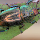 Golden stag beetle (F)