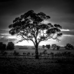 Gum tree. by Jordiie Hunt - Black & White Landscapes