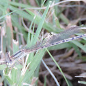 Familiar Bluet Damselfly (female)