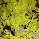 Gold Dust Lichen