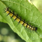 Acraea caterpillar