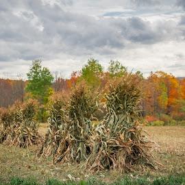 Harvest time by Michael Wolfe - Landscapes Prairies, Meadows & Fields ( corn stalks, fall colors, autumn, farmland, trees, farming, corn field,  )