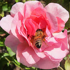 Western Honey Bee in Old Rose