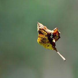 Lightness of a leaf ... by Ricardo Costa - Nature Up Close Leaves & Grasses ( fall, leaf, leaves, portugal,  )