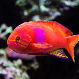 Fish by Adnan Choudhary - Animals Fish ( fauna, colorful, fish, aquarium, saltwater )