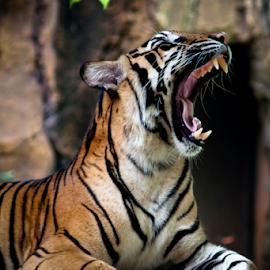 hoooaaam,,..... by Robert Cinega - Animals Lions, Tigers & Big Cats
