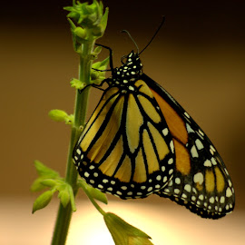 Butterfly by Christina Taylor - Novices Only Wildlife ( butterfly, nature, monarch, beautiful, spring,  )