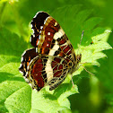 Map butterfly (closed wings)