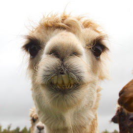 by James Blyth Currie - Animals Other Mammals ( herefordhshire, hereford, alpaca )