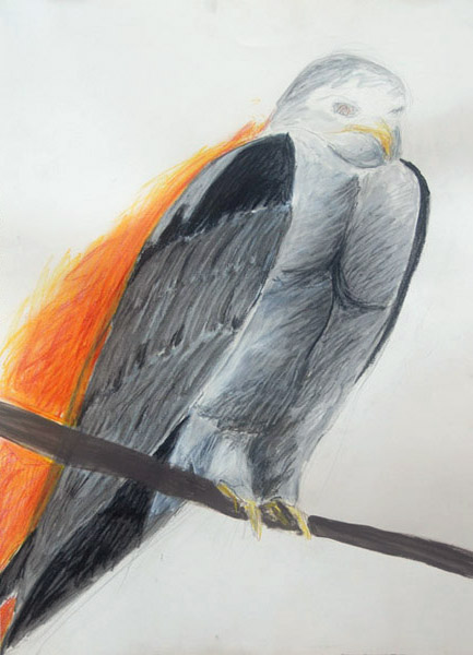 White Shouldered Kite <br> Acrylic paint, pastel, charcoal,<br> watercolor, pencil on paper <br> 30 x 21.5 in