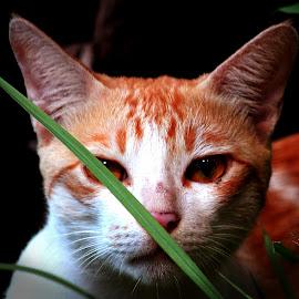 CAt  by PhotographybyAvanish Avanish - Animals - Cats Portraits ( cat, avanish singh, kolkata, photographybyavanish )