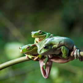 Friendship by Choky Ochtavian Watulingas - Animals Amphibians ( animals, csv, frogs, bokeh, amphibians )