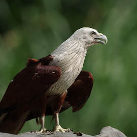 Brahminy kite  by Ken Goh - Animals Birds