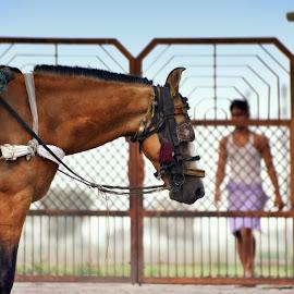 At Rest by Monica Zikusooka - Animals Horses ( jaipur, equine, rajasthan, horse, 2011, india, nikon, draft horse )