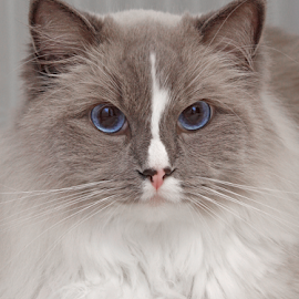 Eye contact by Mia Ikonen - Animals - Cats Portraits ( ragdoll, gentle, finland, lovely, docile )