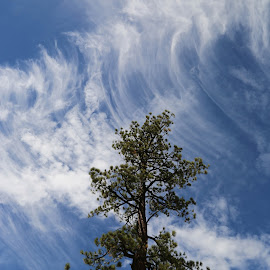 Sequoia Blue by Tim Davies - Nature Up Close Trees & Bushes ( wavy, clouds, blue, pine tree, yosemite, sequoia )