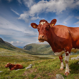 Mountain cow by John Einar Sandvand - Animals Other ( sogn, cow, norway )