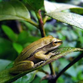 common tree frog by Hendrata Yoga Surya - Instagram & Mobile Android