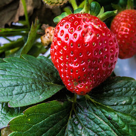strawberry by Vibeke Friis - Food & Drink Fruits & Vegetables ( strawberries, growing,  )